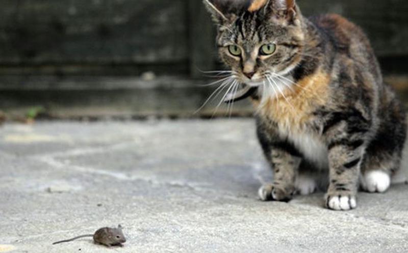 peste negra gatos